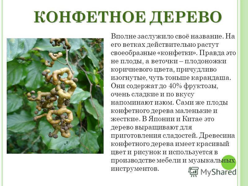 КОНФЕТНОЕ ДЕРЕВО Вполне заслужило своё название. На его ветках действительно растут своеобразные «конфетки». Правда это не плоды, а веточки – плодоножки коричневого цвета, причудливо изогнутые, чуть тоньше карандаша. Они содержат до 40% фруктозы, оче