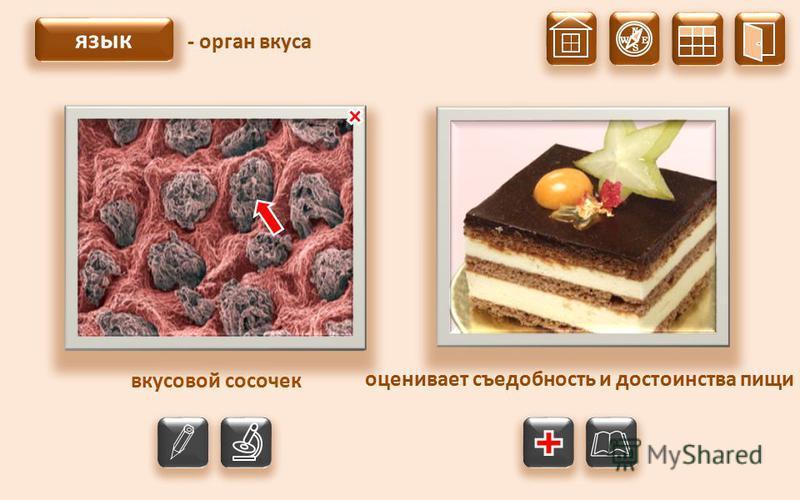 N S W E язык - орган вкуса оценивает съедобность и достоинства пищи малые вкусовые сосочки большие вкусовые сосочки вкусовой сосочек