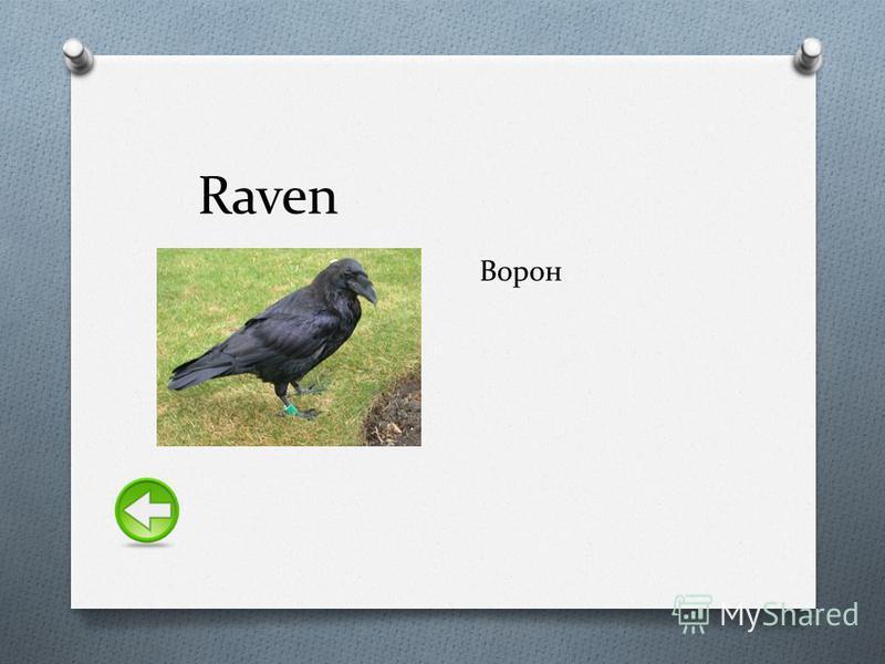 Raven Ворон