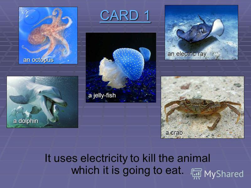 CARD 1 CARD 1 When this animal is alive it is grey or brown. When it is boiled it becomes bright red. a jelly-fish an octopus an electric ray a dolphin a crab a crab