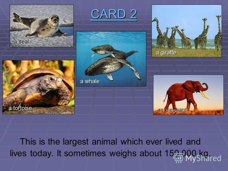 CARD 2 CARD 2 This big animal is a good swimmer, but it cannot jump. It is afraid of mice. a seal a tortoise a whale a giraffe an elephant