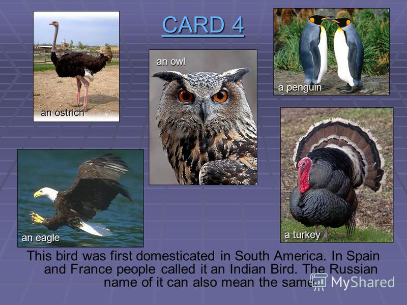 CARD 4 CARD 4 This bird can fly very quietly when it hunts. The animals cant hear it and have no time to escape. an ostrich an owl an eagle a turkey a penguin