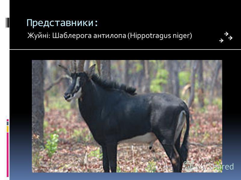 Представники: Жуйні: Шаблерога антилопа (Hippotragus niger)
