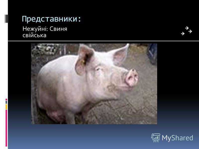Представники: Нежуйні: Свиня свійська