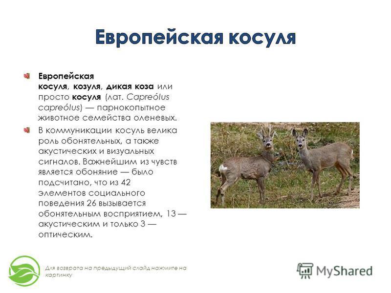 Европейская косуля, козуля, дикая коза или просто косуля (лат. Capreólus capreólus) парнокопытное животное семейства оленевых. В коммуникации косуль велика роль обонятельных, а также акустических и визуальных сигналов. Важнейшим из чувств является об