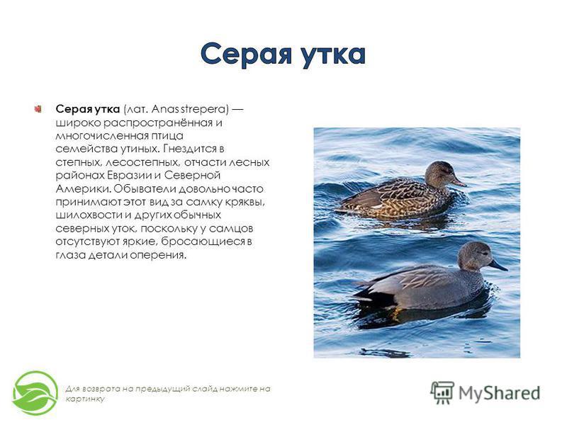 Серая утка (лат. Anas strepera) широко распространённая и многочисленная птица семейства утиных. Гнездится в степных, лесостепных, отчасти лесных районах Евразии и Северной Америки. Обыватели довольно часто принимают этот вид за самку кряквы, шилохво