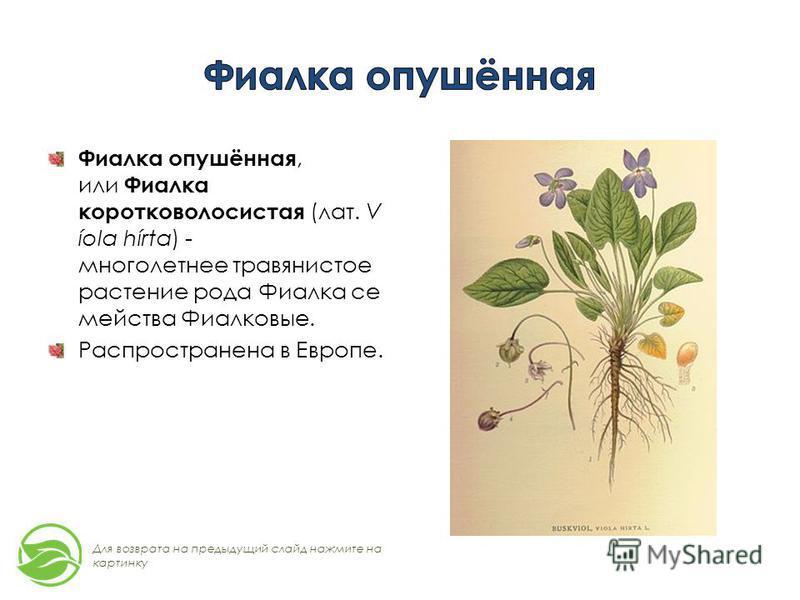 Фиалка опушённая, или Фиалка коротковолосистая (лат. V íola hírta) - многолетнее травянистое растение рода Фиалка семейства Фиалковые. Распространена в Европе. Для возврата на предыдущий слайд нажмите на картинку