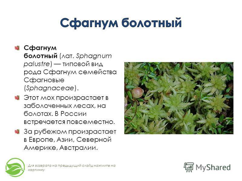 Сфагнум болотный (лат. Sphagnum palustre) типовой вид рода Сфагнум семейства Сфагновые (Sphagnaceae). Этот мох произрастает в заболоченных лесах, на болотах. В России встречается повсеместно. За рубежом произрастает в Европе, Азии, Северной Америке,