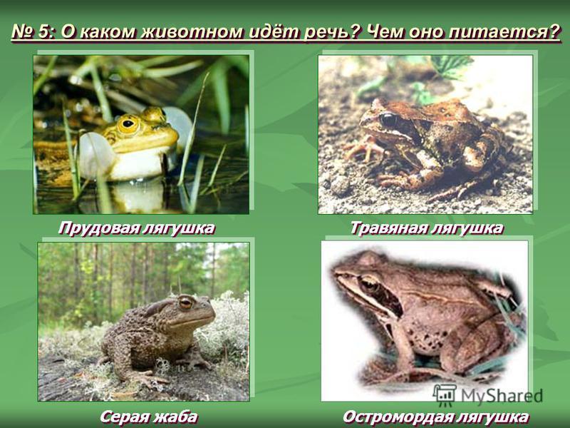 Прудовая лягушка Травяная лягушка Серая жаба Остромордая лягушка