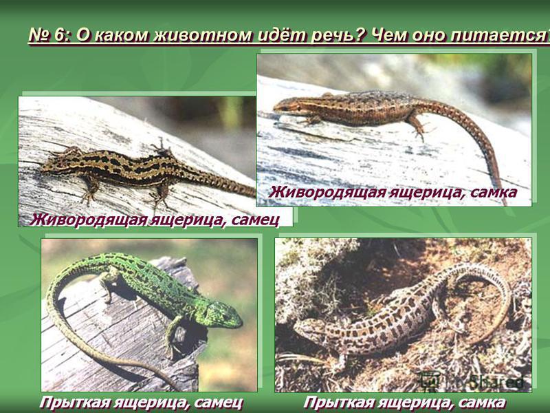 Живородящая ящерица, самка Живородящая ящерица, самец Прыткая ящерица, самец Прыткая ящерица, самка