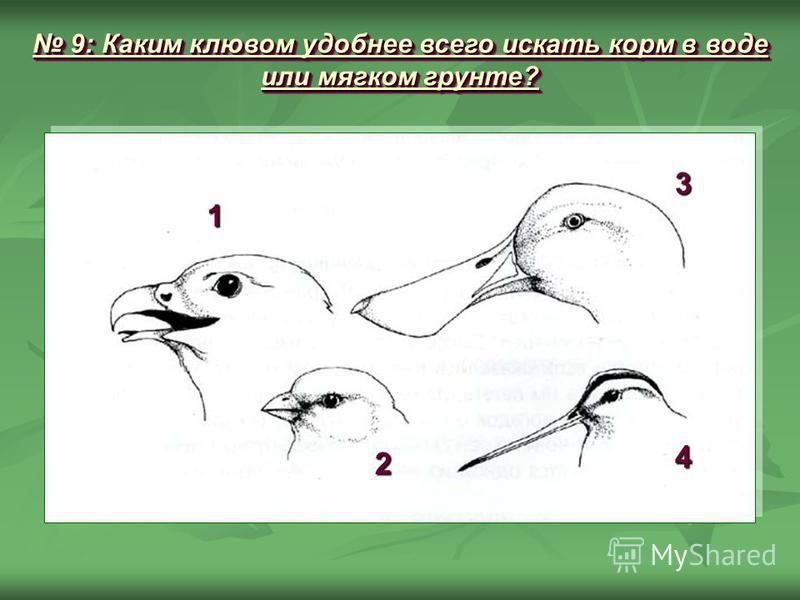 9: Каким клювом удобнее всего искать корм в воде или мягком грунте? 9: Каким клювом удобнее всего искать корм в воде или мягком грунте? 1 2 3 4