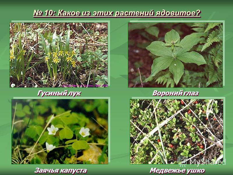 10: Какое из этих растений ядовитое? 10: Какое из этих растений ядовитое? Гусиный лук Заячья капуста Вороний глаз Медвежье ушко