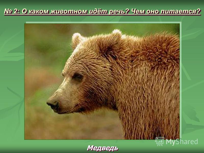 Медведь 2: О каком животном идёт речь? Чем оно питается? 2: О каком животном идёт речь? Чем оно питается?