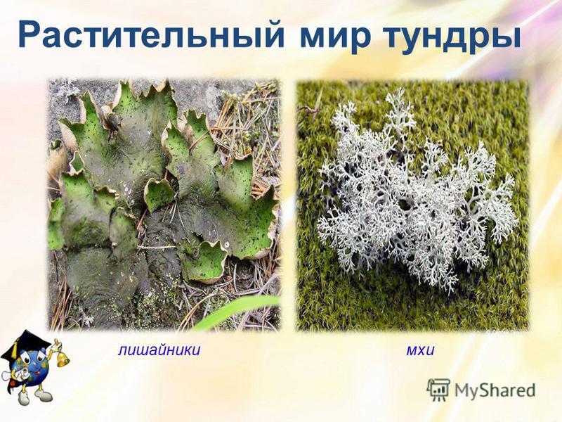 Растительный мир тундры лишайники мхи