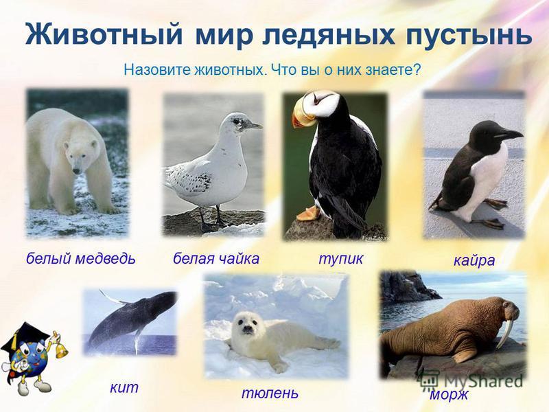 белый медведь Животный мир ледяных пустынь тупик кайра тюлень морж кит Назовите животных. Что вы о них знаете? белая чайка