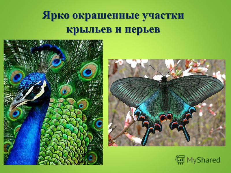 Ярко окрашенные участки крыльев и перьев
