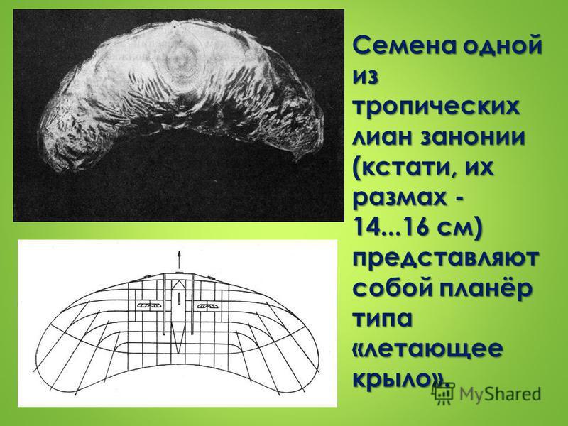 Семена одной из тропических лиан занонии (кстати, их размах - 14...16 см) представляют собой планёр типа «летающее крыло».