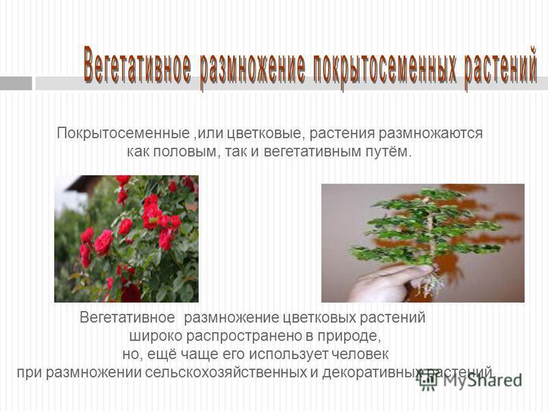 Покрытосеменные,или цветковые, растения размножаются как половым, так и вегетативным путём. Вегетативное размножение цветковых растений широко распространено в природе, но, ещё чаще его использует человек при размножении сельскохозяйственных и декора