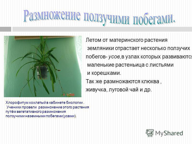 Хлорофитум хохлатый в кабинете биологии. Ученики провели размножение этого растения путём вегетативного размножения ползучими наземными побегами(усами). Летом от материнского растения земляники отрастает несколько ползучих побегов- усов,в узлах котор