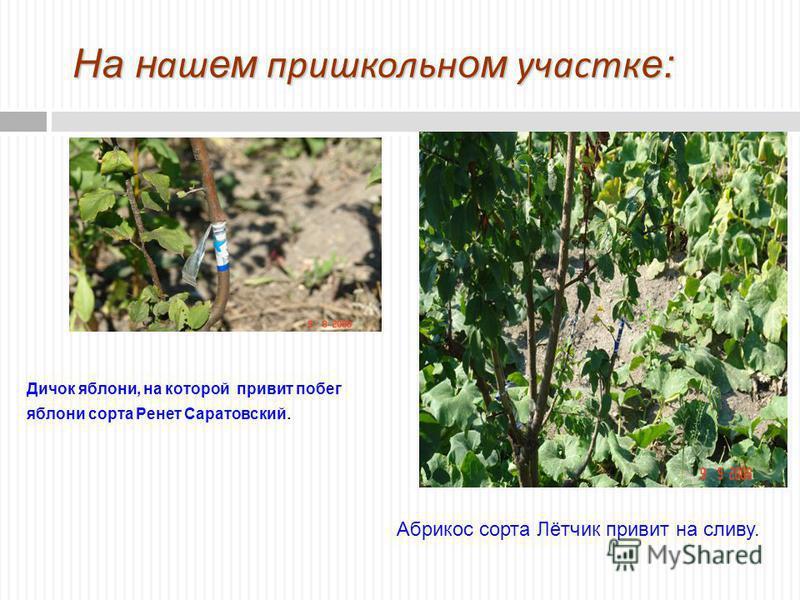 На нашем пришкольном участке: Дичок яблони, на которой привит побег яблони сорта Ренет Саратовский. Абрикос сорта Лётчик привит на сливу.