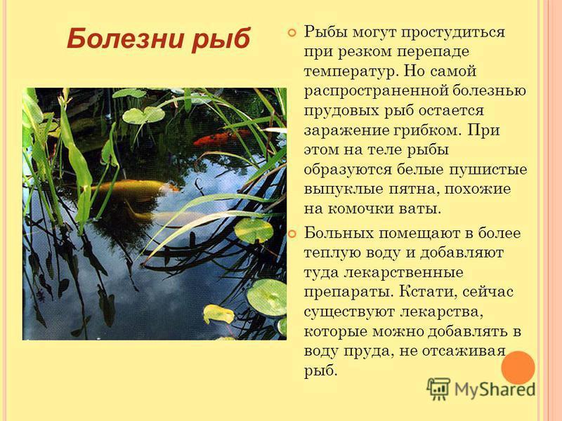 Рыбы могут простудиться при резком перепаде температур. Но самой распространенной болезнью прудовых рыб остается заражение грибком. При этом на теле рыбы образуются белые пушистые выпуклые пятна, похожие на комочки ваты. Больных помещают в более тепл