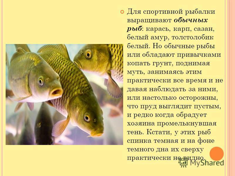 Для спортивной рыбалки выращивают обычных рыб : карась, карп, сазан, белый амур, толстолобик белый. Но обычные рыбы или обладают привычками копать грунт, поднимая муть, занимаясь этим практически все время и не давая наблюдать за ними, или настолько