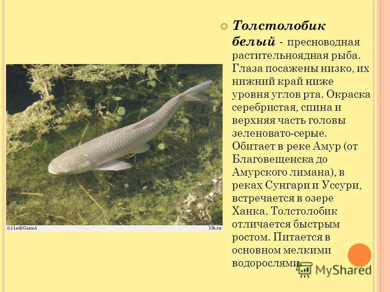 Толстолобик белый - пресноводная растительноядная рыба. Глаза посажены низко, их нижний край ниже уровня углов рта. Окраска серебристая, спина и верхняя часть головы зеленовато-серые. Обитает в реке Амур (от Благовещенска до Амурского лимана), в река