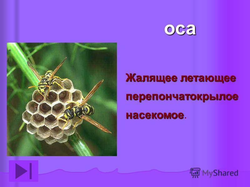 оса Жалящее летающее перепончатокрылое насекомое Жалящее летающее перепончатокрылое насекомое.