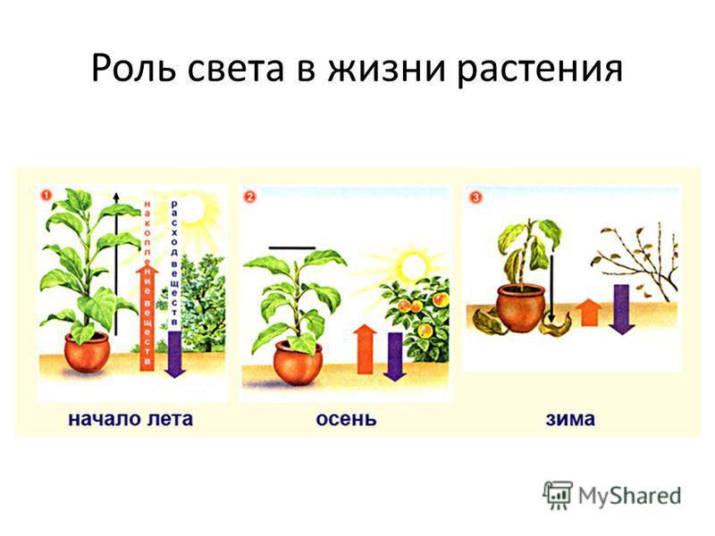 Роль света в жизни растения
