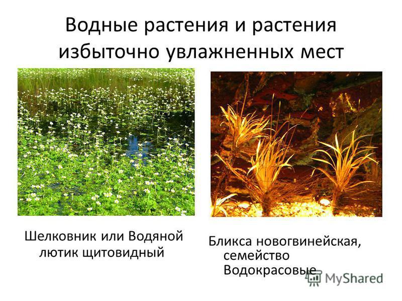 Водные растения и растения избыточно увлажненных мест Шелковник или Водяной лютик щитовидный Бликса новогвинейская, семейство Водокрасовые