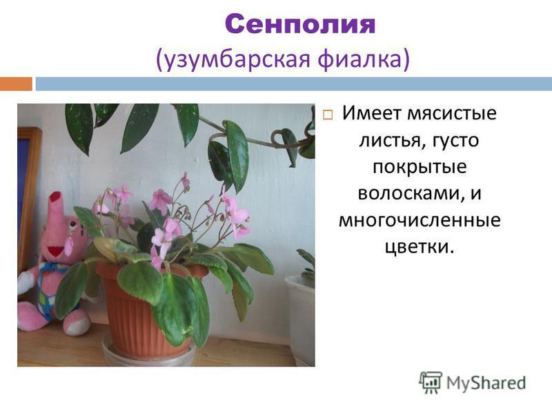 Сенполия ( узамбарская фиалка ). Имеет мясистые листья, густо покрытые волосками, и многочисленные цветки.