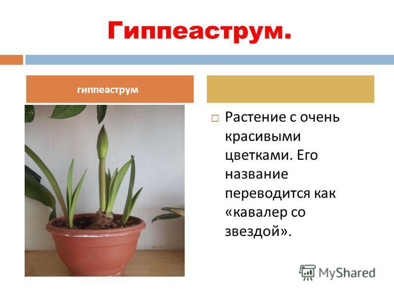 Гиппеаструм. Растение с очень красивыми цветками. Его название переводится как « кавалер со звездой ». гиппеаструм