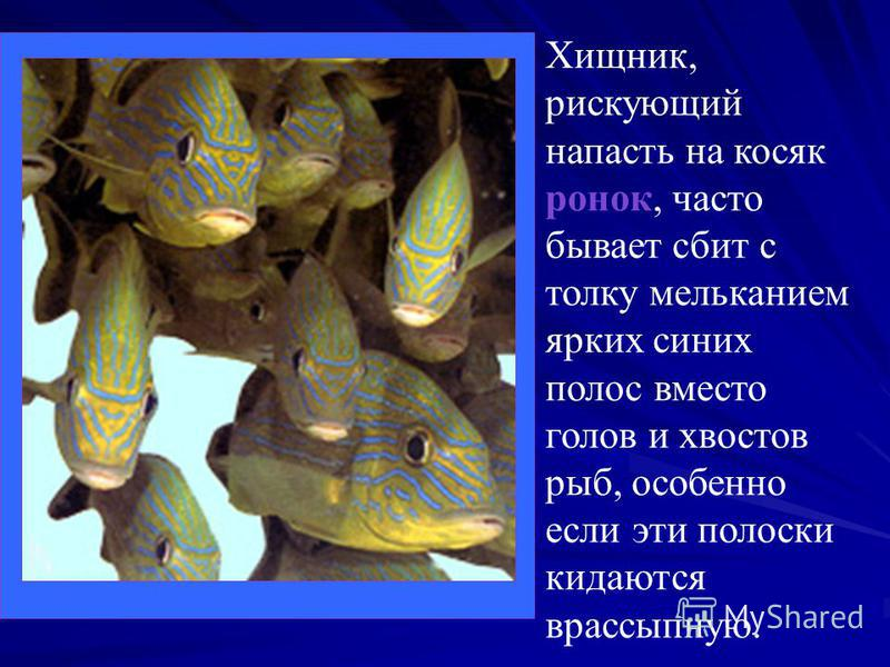 Хищник, рискующий напасть на косяк ронок, часто бывает сбит с толку мельканием ярких синих полос вместо голов и хвостов рыб, особенно если эти полоски кидаются врассыпную.