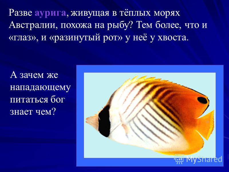 Разве аурига, живущая в тёплых морях Австралии, похожа на рыбу? Тем более, что и «глаз», и «разинутый рот» у неё у хвоста. А зачем же нападающему питаться бог знает чем?