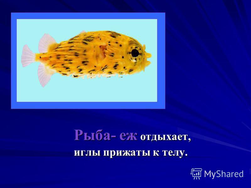 Рыба- еж отдыхает, иглы прижаты к телу.