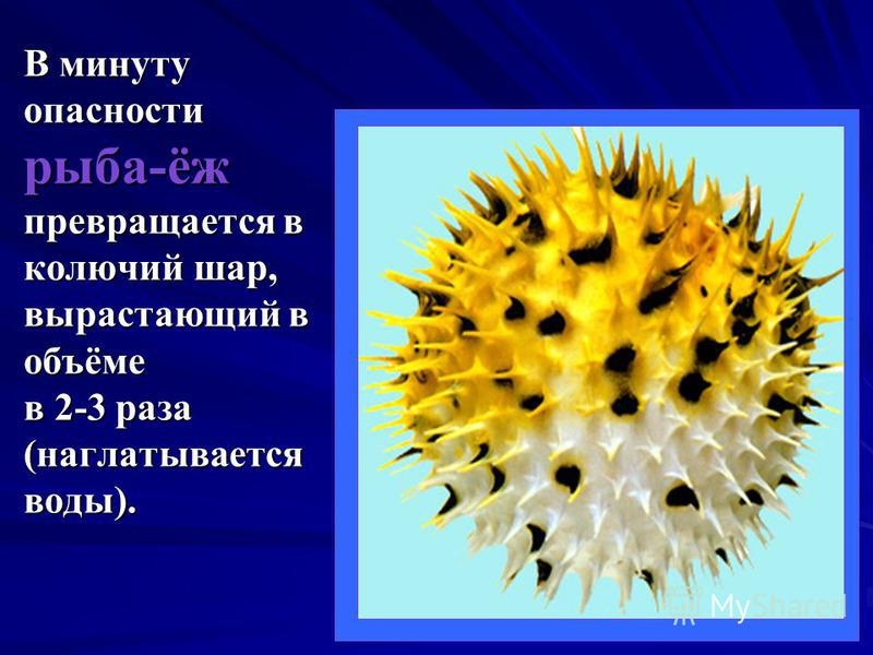 В минуту опасности рыба-ёж превращается в колючий шар, вырастающий в объёме в 2-3 раза (наглатывается воды).