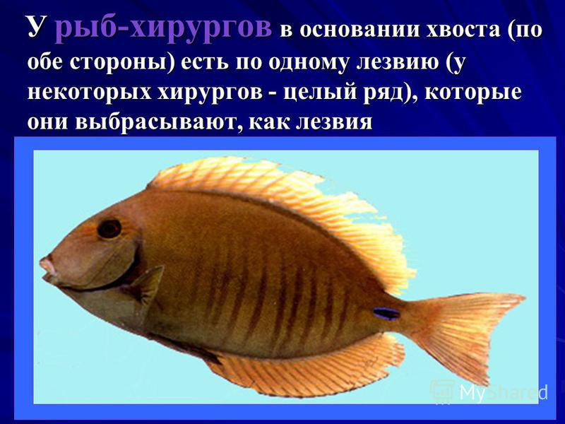 У рыб-хирургов в основании хвоста (по обе стороны) есть по одному лезвию (у некоторых хирургов - целый ряд), которые они выбрасывают, как лезвия У рыб-хирургов в основании хвоста (по обе стороны) есть по одному лезвию (у некоторых хирургов - целый ря