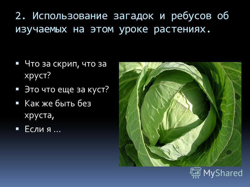 2. Использование загадок и ребусов об изучаемых на этом уроке растениях. Что за скрип, что за хруст? Это что еще за куст? Как же быть без хруста, Если я …