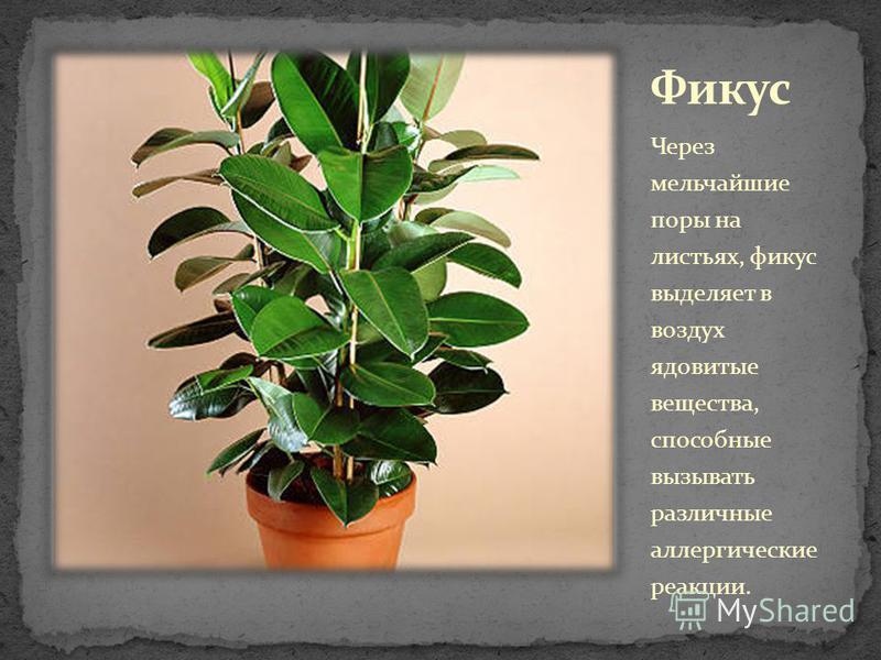 Через мельчайшие поры на листьях, фикус выделяет в воздух ядовитые вещества, способные вызывать различные аллергические реакции.