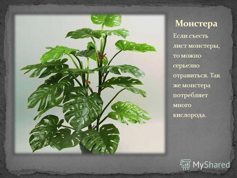 Если съесть лист монстеры, то можно серьезно отравиться. Так же монстера потребляет много кислорода.