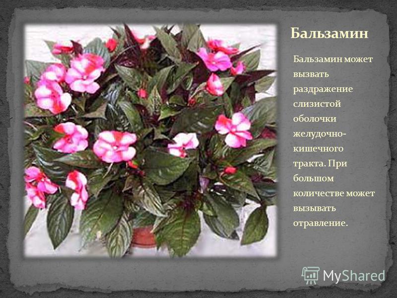 Бальзамин может вызвать раздражение слизистой оболочки желудочно- кишечного тракта. При большом количестве может вызывать отравление.