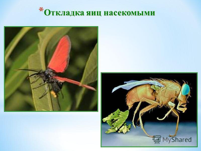 * Откладка яиц насекомыми