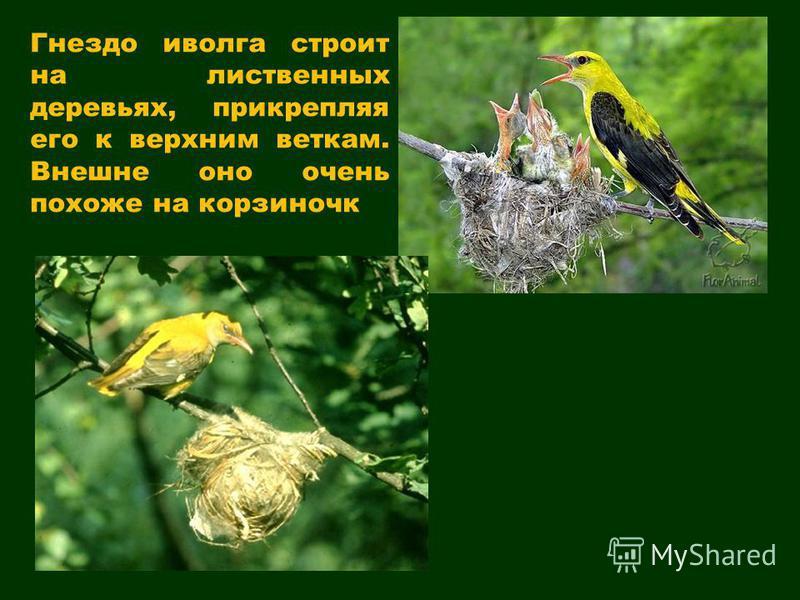 Гнездо иволга строит на лиственных деревьях, прикрепляя его к верхним веткам. Внешне оно очень похоже на корзиночка