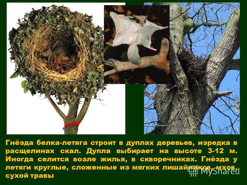 Гнёзда белка-летяга строит в дуплах деревьев, изредка в расщелинах скал. Дупла выбирает на высоте 3-12 м. Иногда селится возле жилья, в скворечниках. Гнёзда у летяги круглые, сложенные из мягких лишайников, мхов, сухой травы