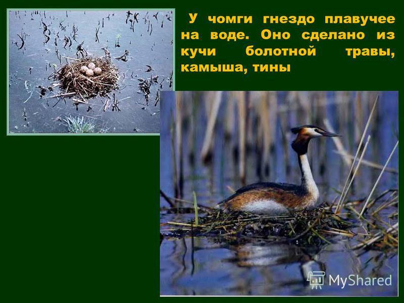У чомги гнездо плавучее на воде. Оно сделано из кучи болотной травы, камыша, тины