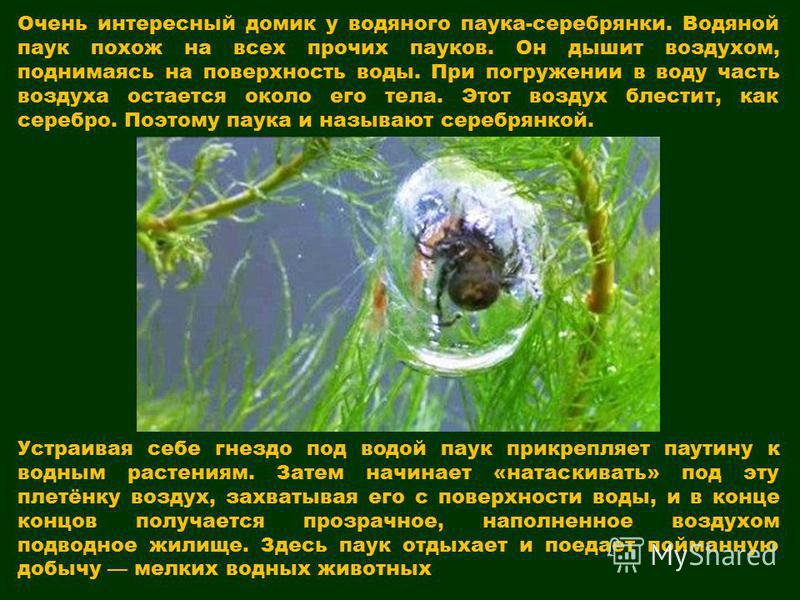 Очень интересный домик у водяного паука-серебрянки. Водяной паук похож на всех прочих пауков. Он дышит воздухом, поднимаясь на поверхность воды. При погружении в воду часть воздуха остается около его тела. Этот воздух блестит, как серебро. Поэтому па