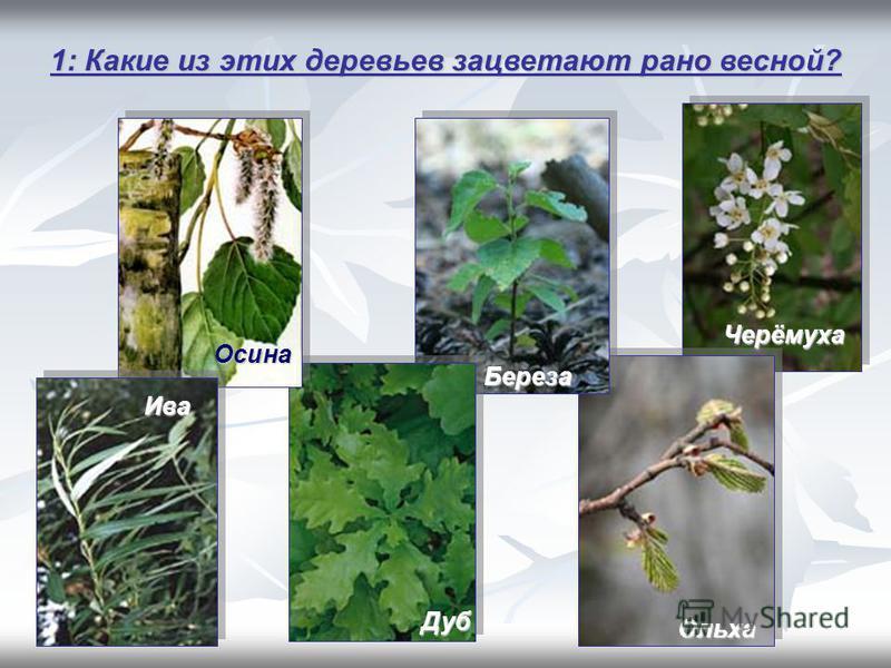 1: Какие из этих деревьев зацветают рано весной? Осина Ольха Черёмуха Дуб Береза Ива