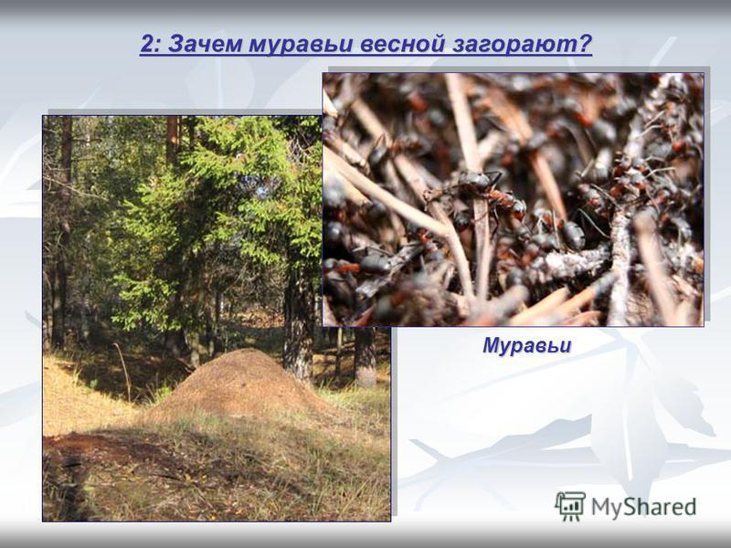 2: Зачем муравьи весной загорают? Муравьи