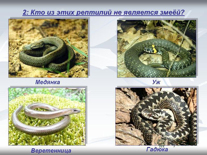2: Кто из этих рептилий не является змеёй? Веретенница Уж Гадюка Медянка