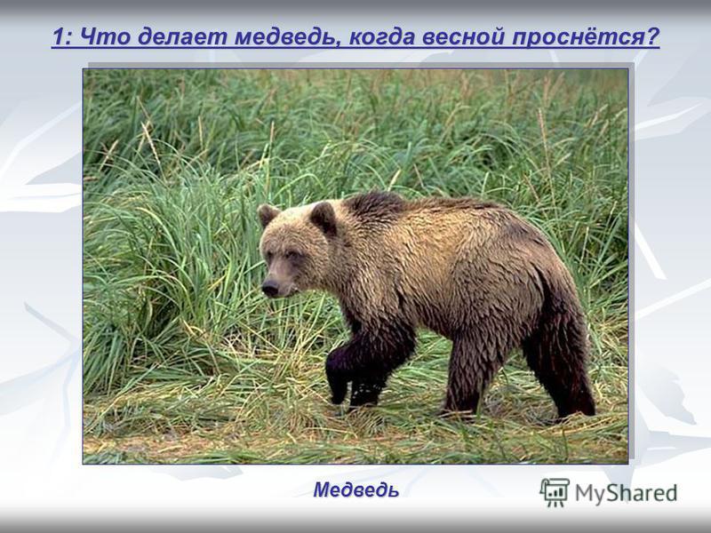 1: Что делает медведь, когда весной проснётся? Медведь